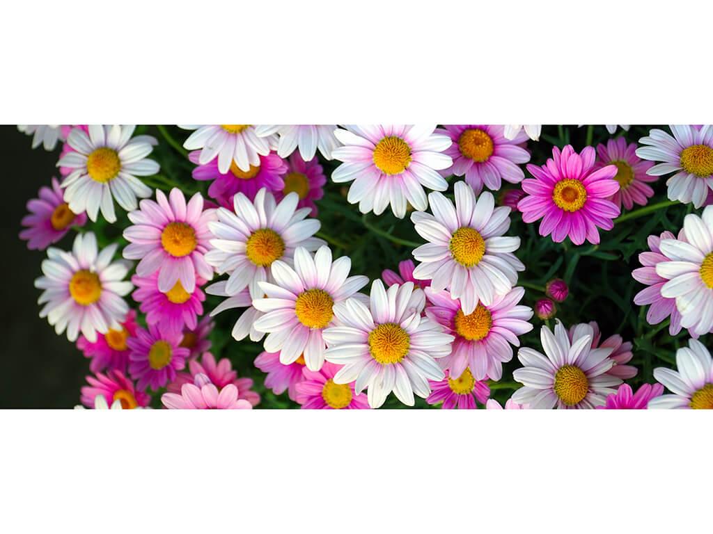 Daisies-200x80cm-9889