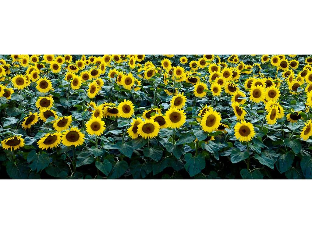 Floare-Soarelui-200x80cm-5958