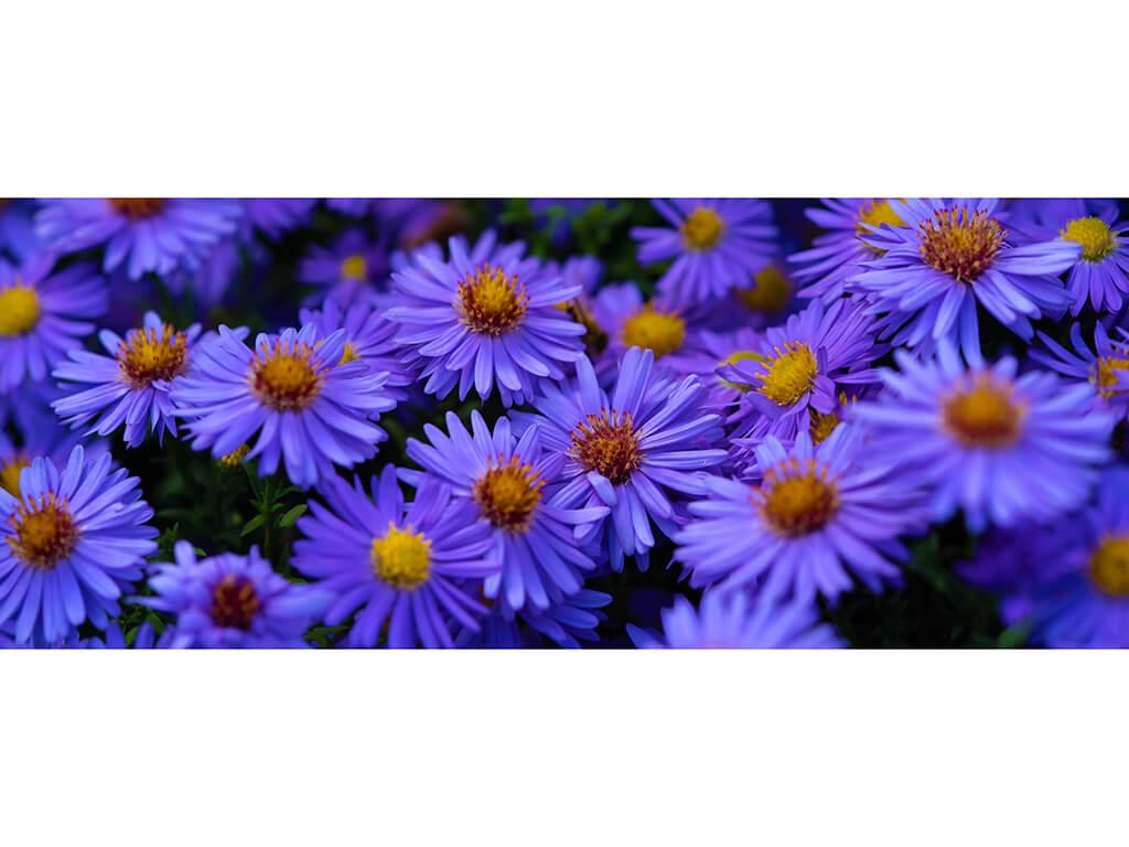 Violete-8541